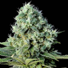 Genehtik Santa Bilbo Female 5 Marijuana Seeds